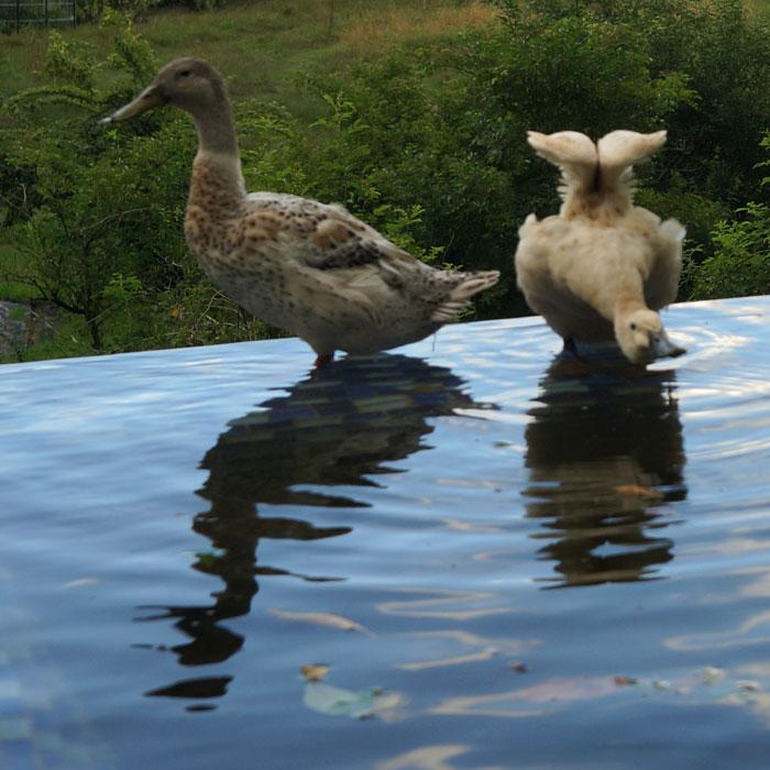 Enten-im-Pool